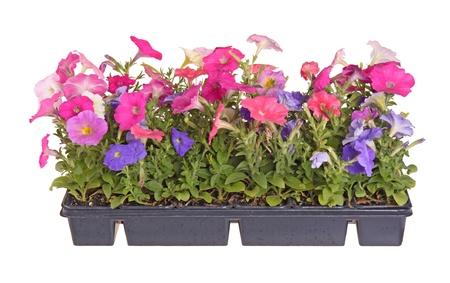 준비 흰색 배경에 대해 격리 집 정원에 이식을 위해 여러 색상에서 꽃이 피는 피튜니아 식물의 모종을 포함하는 평면의 측면보기