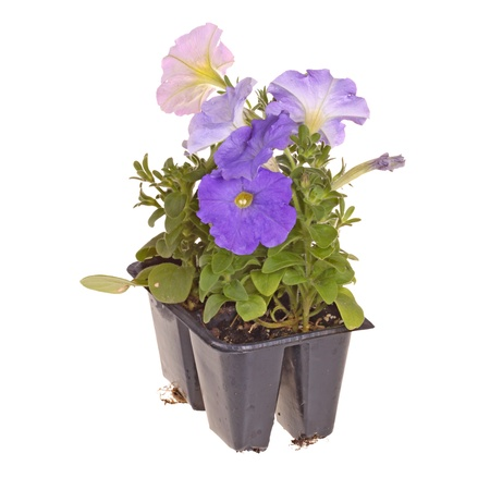 petunia: Pack containing four seedlings of petunia plants flowering in blue and pink ready for transplanting into a home garden isolated against a white background