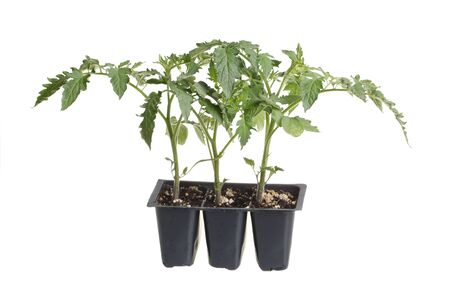 Plastic pack containing three seedlings of tomato  Solanum lycopersicum or Lycopersicon esculentum  ready for transplanting into a home garden isolated against a white background photo