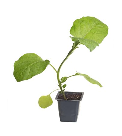 transplanted: A single seedling of an eggplant  Solanum melongena  ready to be transplanted into a home garden isolated against a white background