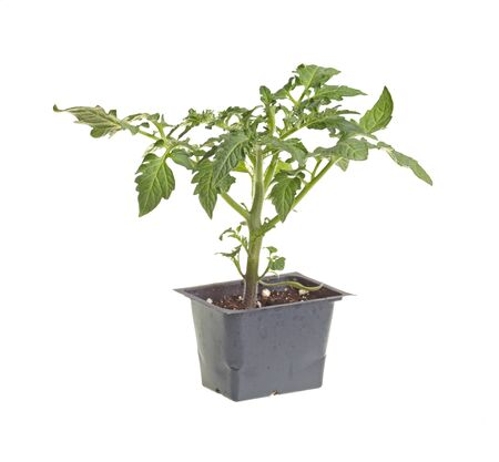 transplanted: Seedling of a tomato  Solanum lycopersicum or Lycopersicon esculentum  in a black plastic pot ready to be transplanted into a home garden isolated against a white background