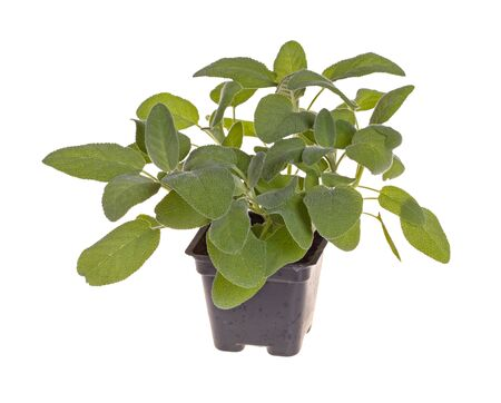 officinalis: Small plant of the garden herb sage  Salvia officinalis  cultivar Berggarten in a black plastic pot