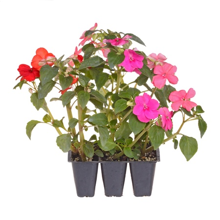 Pack containing three seedlings of impatiens plants  Impatiens wallerana  flowering in pink, red and orange ready for transplanting into a home garden isolated against a white background photo
