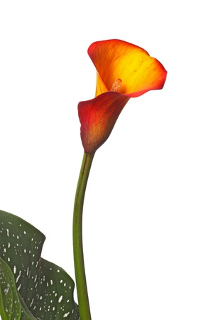 Single flower, stem and partial green-and-white leaf of an orange and yellow calla lily  Zantedeschia  isolated against a white background photo