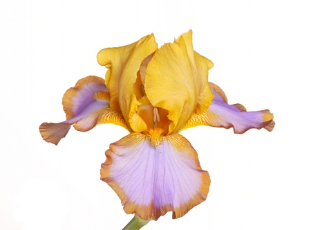 Single yellow, brown and purple flower of bearded iris  Iris germanica  cultivar Brown Lasso isolated against a white background