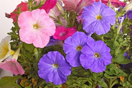 Multiple flowers of pink, purple and red petunias  Petunia hybrida  fill the frame photo