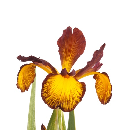 Stem with an open flower of a yellow and brown Spuria iris isolated against a white background photo