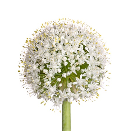 allium cepa: Large flower head of the edible onion (Allium cepa) isolated against a white background Stock Photo