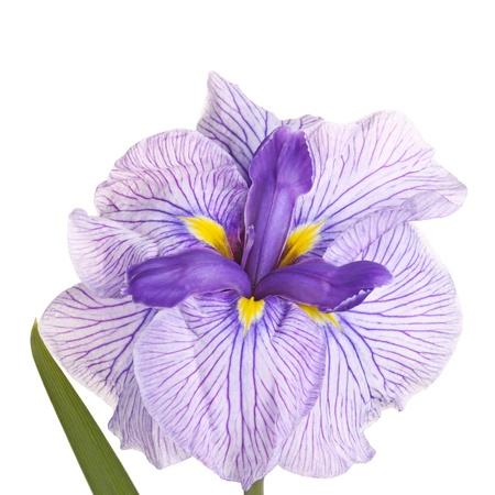 Purple, yellow and white flower of a Japanese iris cultivar (Iris ensata) isolated against a white background Stock Photo