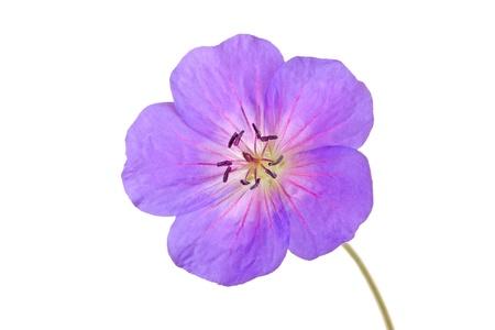 violeta: Sola flor brillante urple y rojo del geranio cultivadas aisladas sobre un fondo blanco