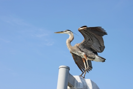 wingspread: Great blue heron  Ardea herodias  standing on a post with its wings spread after landing near Sarasota, Florida, against a bright blue sky with copy space for text