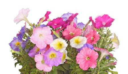 petunia: Side view of petunia plants flowering in multiple colors against a white background Stock Photo
