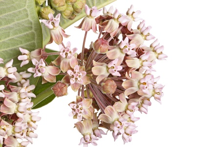 Closeup of a cluster of flowers of common milkweed or butterfly flower  Asclepias syriaca  isolated against a white background