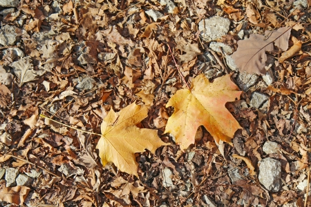 sugar maple: Fallen leaves of red oak  Quercus species  and sugar maple  Acer saccharum  against a background of leaf litter and rocks