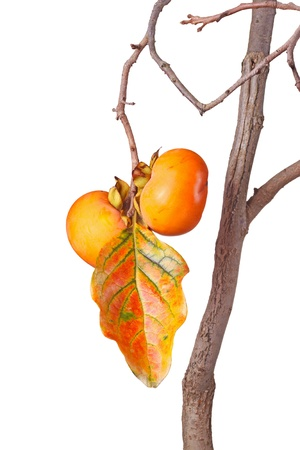 ki: Two ripe fruit of Asian or Japanese persimmon  Diospyros kaki  cultivar Ichi Ki Kei Jiro and a fall leaf hanging on a tree isolated against white