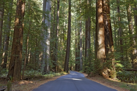 redwood: HDR image of Mattole Road winding through a grove of huge coast redwood trees  Sequoia sempervirens  in the Humboldt Redwoods State Park of California