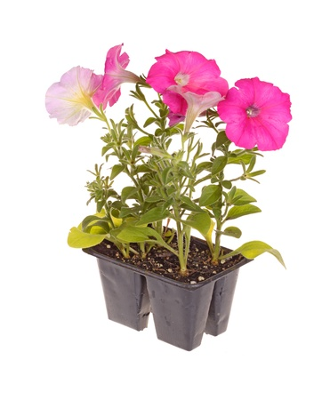 petunia: Pack containing four seedlings of pink-flowering petunia plants ready for transplanting into a home garden isolated against a white background Stock Photo