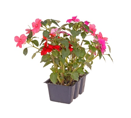 Pack containing three seedlings of impatiens plants  Impatiens wallerana  flowering in pink and red ready for transplanting into a home garden isolated against a white background photo