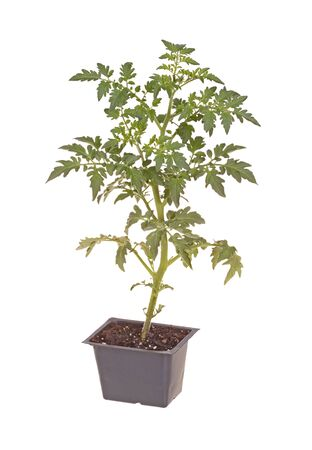A single seedling of a cherry tomato  Solanum lycopersicum