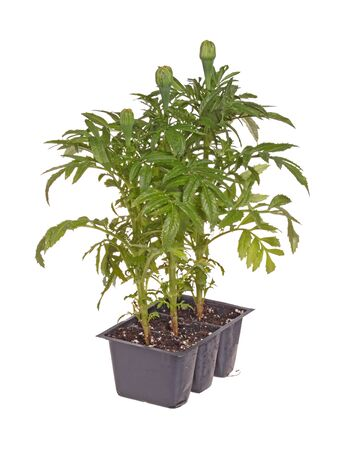 garden marigold: Three seedlings of marigolds  Tagetes species  with buds  Stock Photo