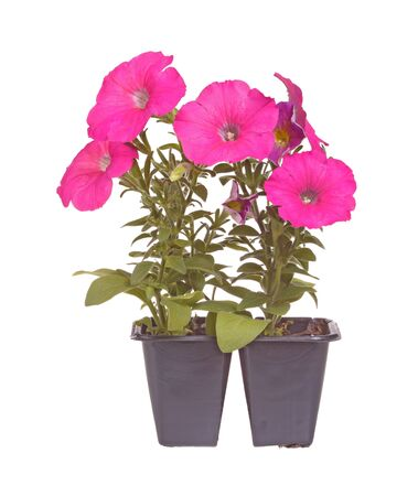 petunia: Pack containing two seedlings of pink-flowering petunia plants ready for transplanting into a home garden isolated against a white background