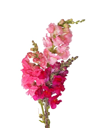 antirrhinum majus: Several stems with pink, red, purple and yellow flowers of snapdragons  Antirrhinum majus  isolated against a white background Stock Photo