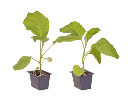 transplanted: A pair of eggplant  Solanum melongena  seedlings ready to be transplanted into a home garden isolated against a white background Stock Photo
