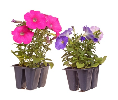 flowering plant: Two packs containing two seedlings of pink- and blue-flowering petunia plants ready for transplanting into a home garden isolated against a white background Stock Photo