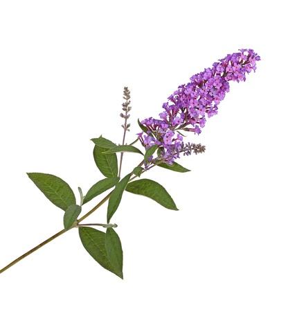 흰색 배경에 대해 격리 나비 부시 Buddleja의 davidii의 보라색 꽃 지점 스톡 콘텐츠