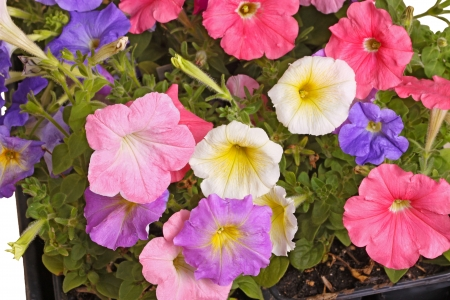 Multiple flowers of different colored petunias  Petunia hybrida  fill the frame photo
