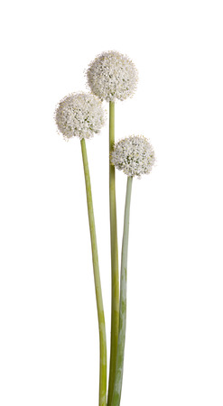 Three flower heads and stems of the edible onion  Allium cepa  isolated against a white