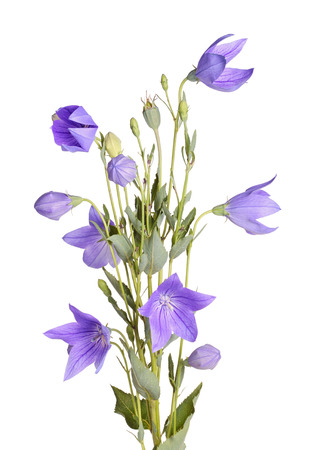 bell shaped: Many purple flowers, buds and leaves of balloon flower or bellflower  Platycodon grandiflorus  isolated against a white