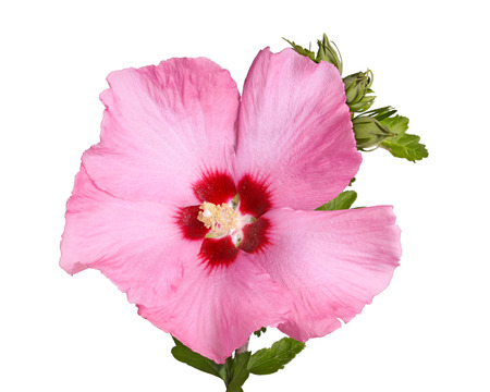 A single purple flower and buds of the Rose of Sharon  Hibiscus syriacus  plant isolated against a white