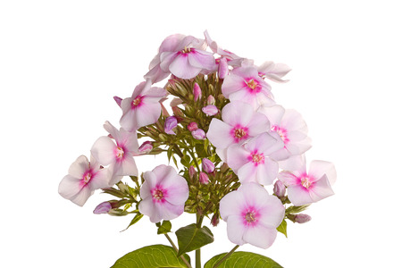 perennial: A single stem with many white and pink flowers of phlox  Phlox paniculata  and leaves isolated against a white