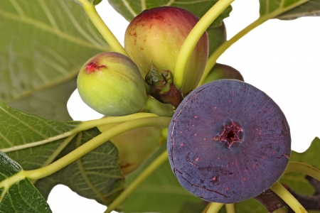 A purple, ripe fig plus two unripe fruits on the branch of a tree isolated against a white