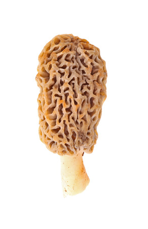 esculenta: Sporocarp of a freshly picked yellow morel mushroom (Morchella esculenta or esculentoides) collected from a back yard in Indiana isolated against a white background Stock Photo