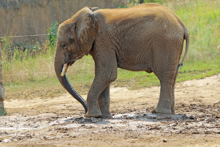 A small African elephant  Loxodonta africana  in its enclosure at the Indianapolis Zoo in Indiana Stock Photo