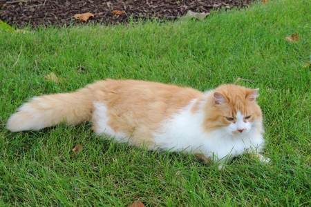 longhair: An orange and white domestic longhair cat  Felis catus  relaxing in a lawn of green grass