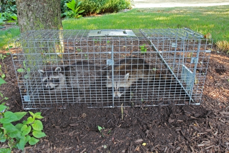 homeowners: Two small American raccoons caught in a live trap in a homeowners back yard