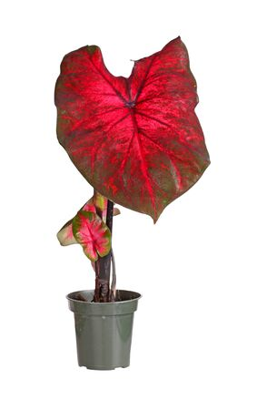 transplanted: Small plant of a red-leaved caladium cultivar  Caladium bicolor  ready to be transplanted into a garden