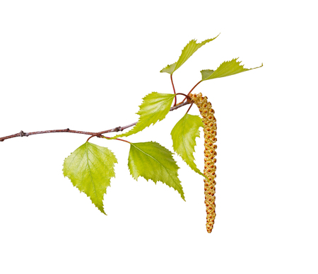 Several spring leaves of a birch tree  Betula species  and a flower catkin isolated against a white background