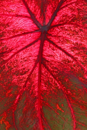 veining: Red and green leaf of a caladium cultivar  Caladium bicolor  fills the frame vertical