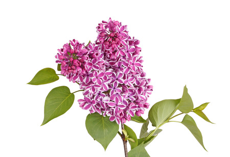 syringa: Purple and white flowers of lilac cultivar Sensation  Syringa vulgaris  with green spring leaves isolated against a white background