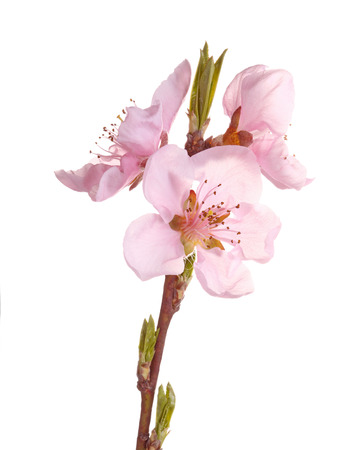 Stem with pink flowers of a nectarine (Prunus persica variety nucipersica) isolated against a white background photo