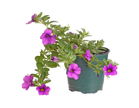 small purple flower: Small potted plant of a purple-flowered Calibrachoa (Calibrachoa x hybrida) isolated against a white background Stock Photo
