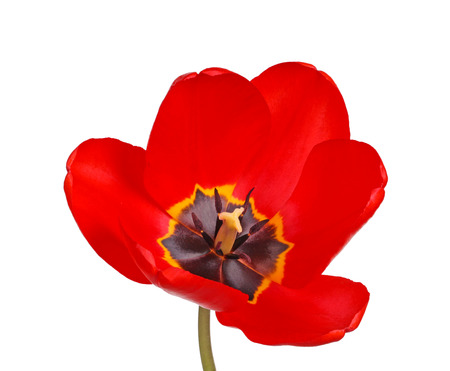 stigmate: Ouvrez la fleur d'un cultivar de tulipe rouge (esp�ces Tulipa) � la stigmatisation et les anth�res noires isol�es sur un fond blanc