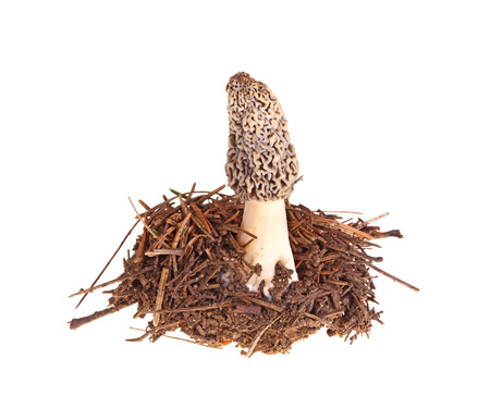 fungi: A single gray morel mushroom (Morchella esculenta or esculentoides) and part of its soil and pine needle substrate isolated against a white background