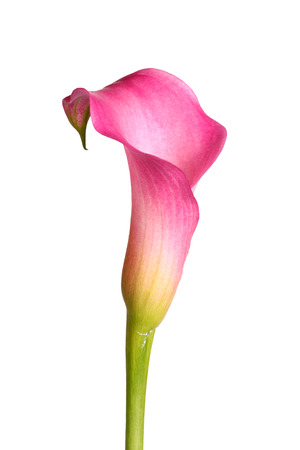 arum: Single flower and stem of a pink calla lily  Zantedeschia hybrid  isolated against a white background