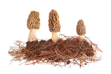 Three yellow morel mushrooms  Morchella esculenta or esculentoides  and part of their soil and pine needle substrate isolated against a white background photo