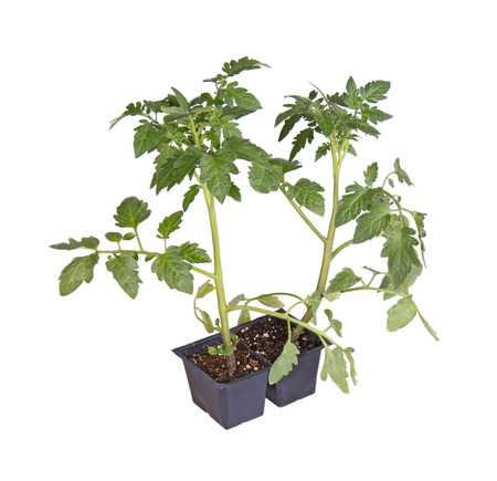 A pack of two tomato seedlings  Solanum lycopersicum or Lycopersicon esculentum  ready to be transplanted into a home garden isolated against a white background photo